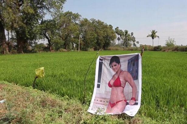 Poster të pornostares te ara/ Fermeri: Më ruan të mbjellat