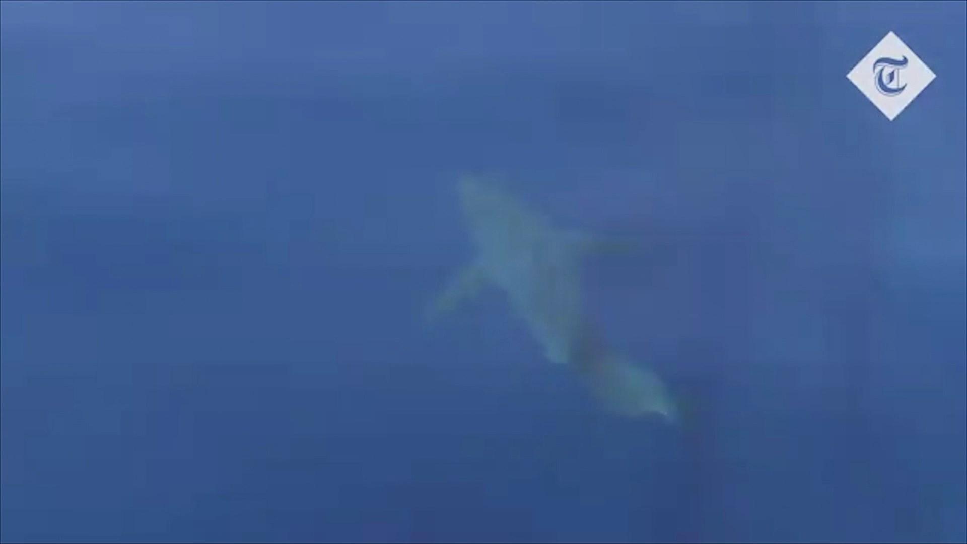 Spanjë, një peshkaqen i bardhë në ujërat e Majorkës