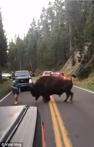 Në luftë me bizonin