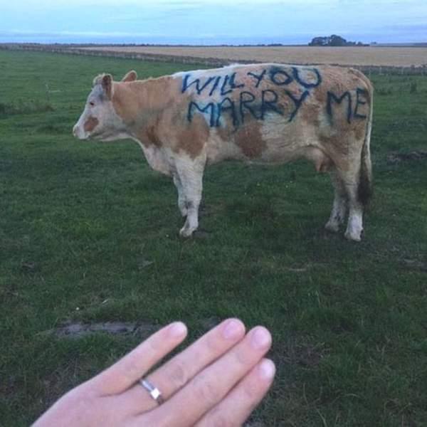 Fermeri propozon të dashurën me anë të lopës