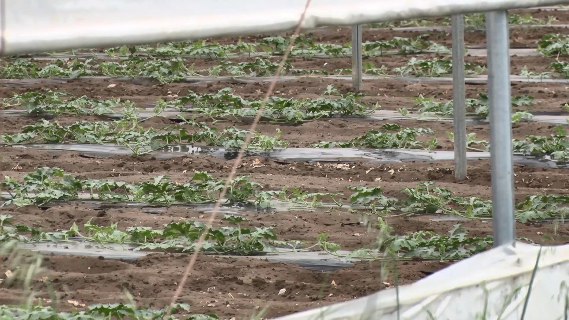 Divjakë, fermerët të kënaqur nga shiu, thatësira gati i falimentoi