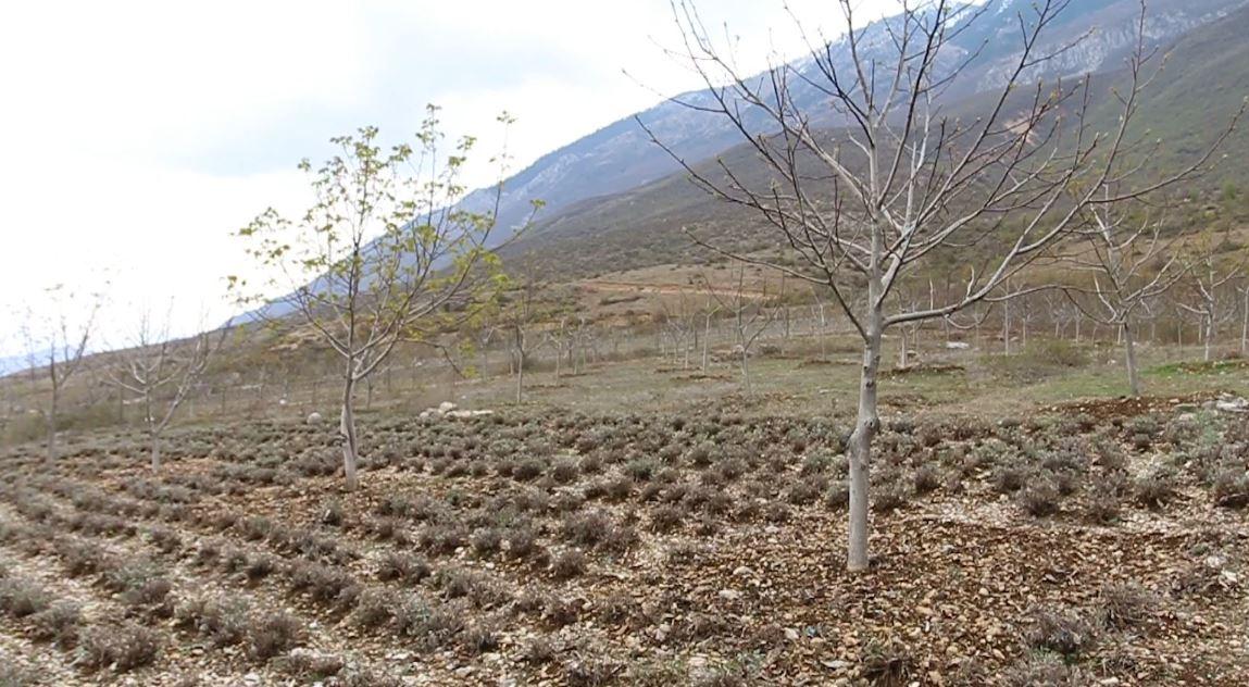 Fermerët në Kukës mbjellin dru arrore