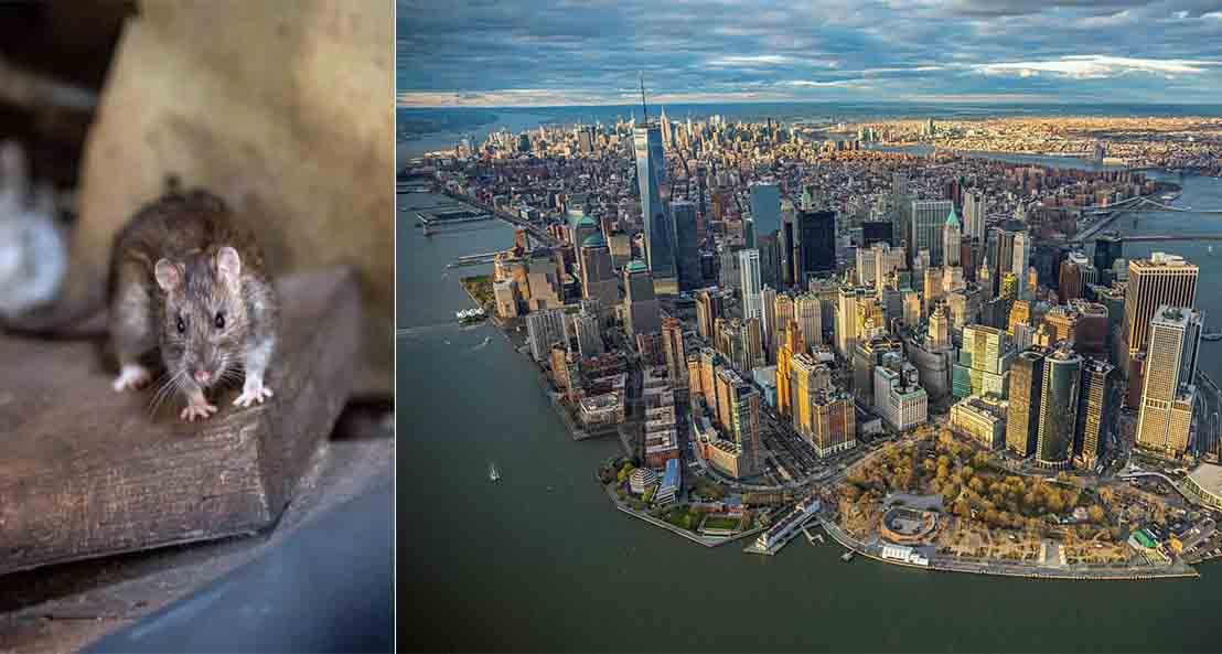 New York po pushtohet nga… minjtë
