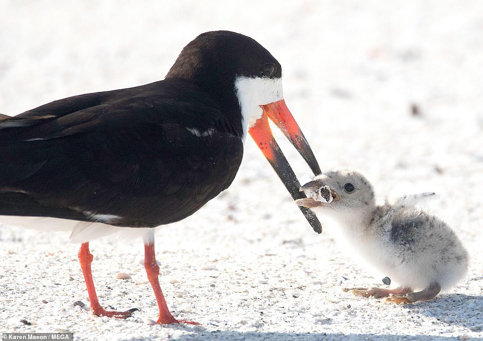 15407632-7195165-The_black_skimmer_picks_up_a_cigarette_butt_thinking_it_is_food_-a-17_1561800327420.jpg