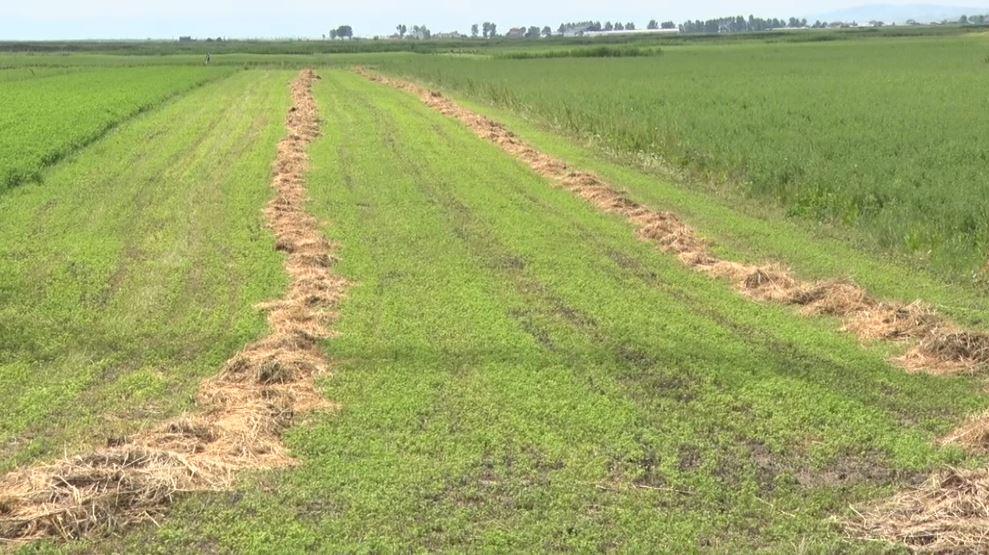 Në alarm për humbjen e miliona lekëve, dëmtohen të mbjellat bujqësore