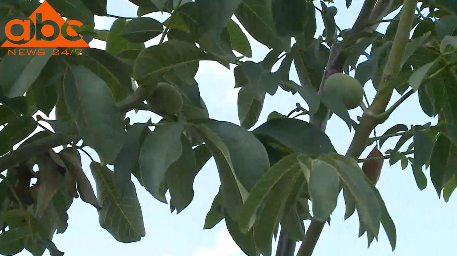 Korçë, fshatarët e Dvoranit shkulin mollët dhe mbjellin arrat turke