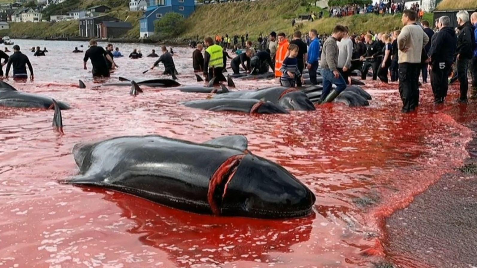 Vriten rreth 100 balena në ishujt Faroe, publikohen pamjet e masakrës