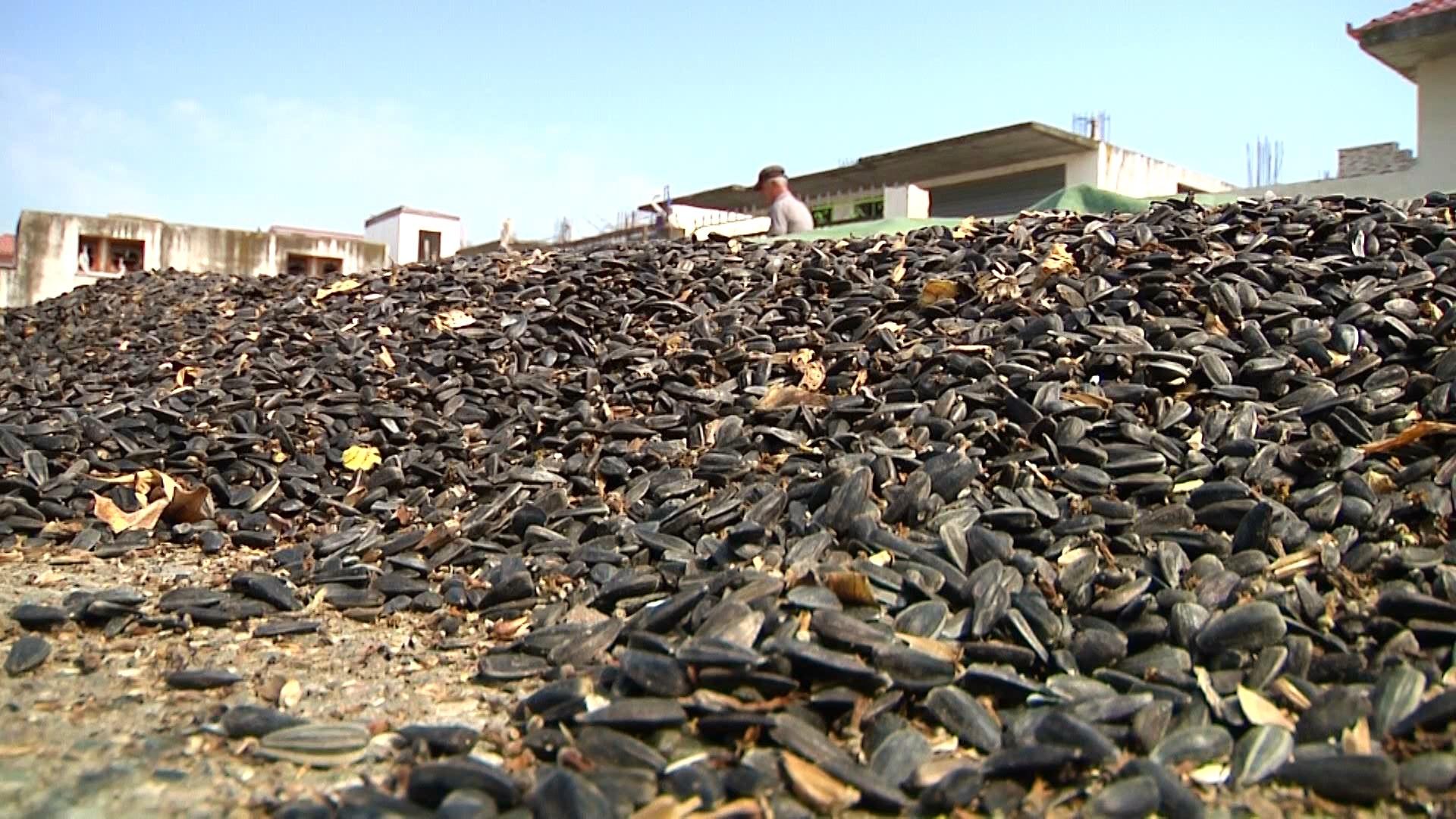 Një mijë ton fara luledielli prodhohen vetëm në Tërbuf, asnjë kgpër industri