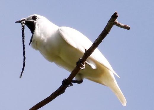 VIDEO/ Dëmton edhe dëgjimin e njeriut, njihni zogun me zërin më të fortë se një bori makine