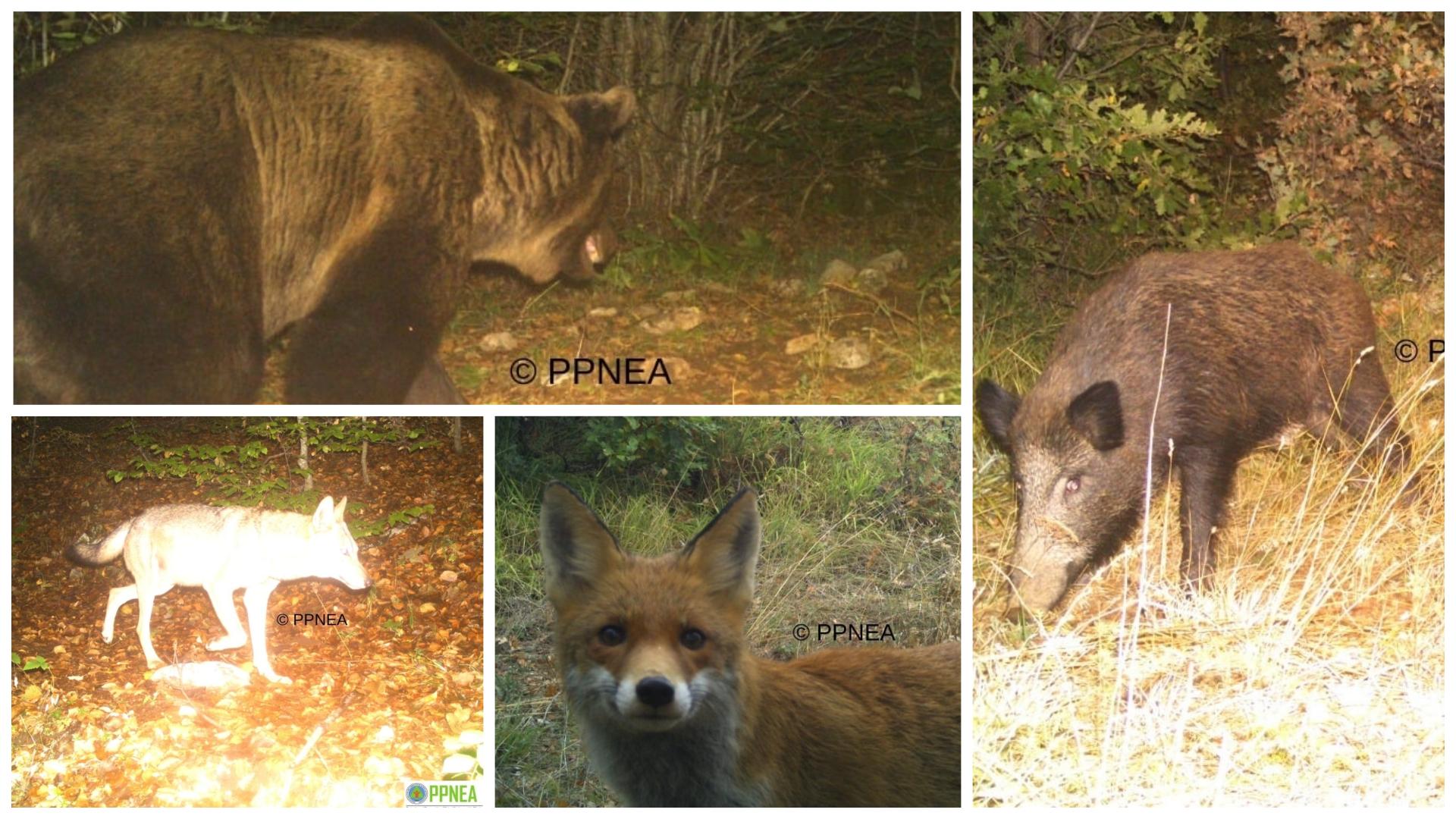 FOTO/ Kafshët që mendoheshin të zhdukura kapen nga kamerat kurth në parkun e Prespës