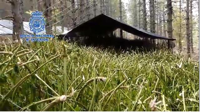 VIDEO/ Mbollën 1.5 hektarë kanabis në mës të pyllit spanjoll, si u zbulua grupi i shqiptarëve