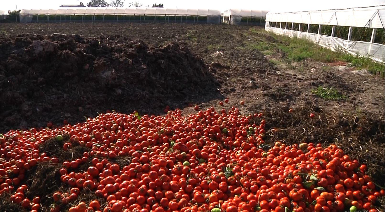 Tonelata domate hidhen në kanal në Myzeqe