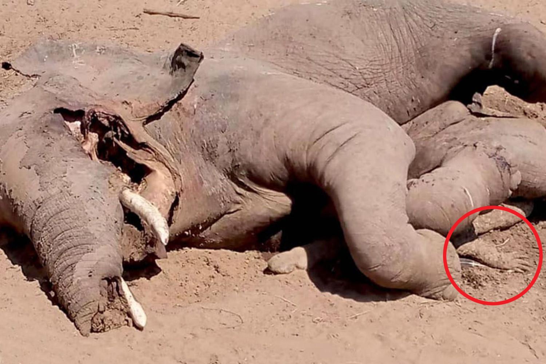 FOTO/ Tenton të hajë elefantin, krokodili mbetet nën të