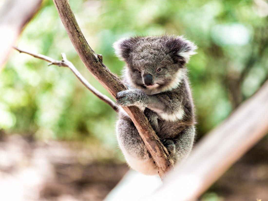 Koalat, drejt zhdukjes pas zjarreve masive që kanë pushtuar Australinë