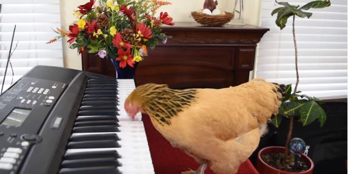 Kinezi mëson pulën të luajë në piano, brenda 3 muajsh ka mësuar 3 këngë