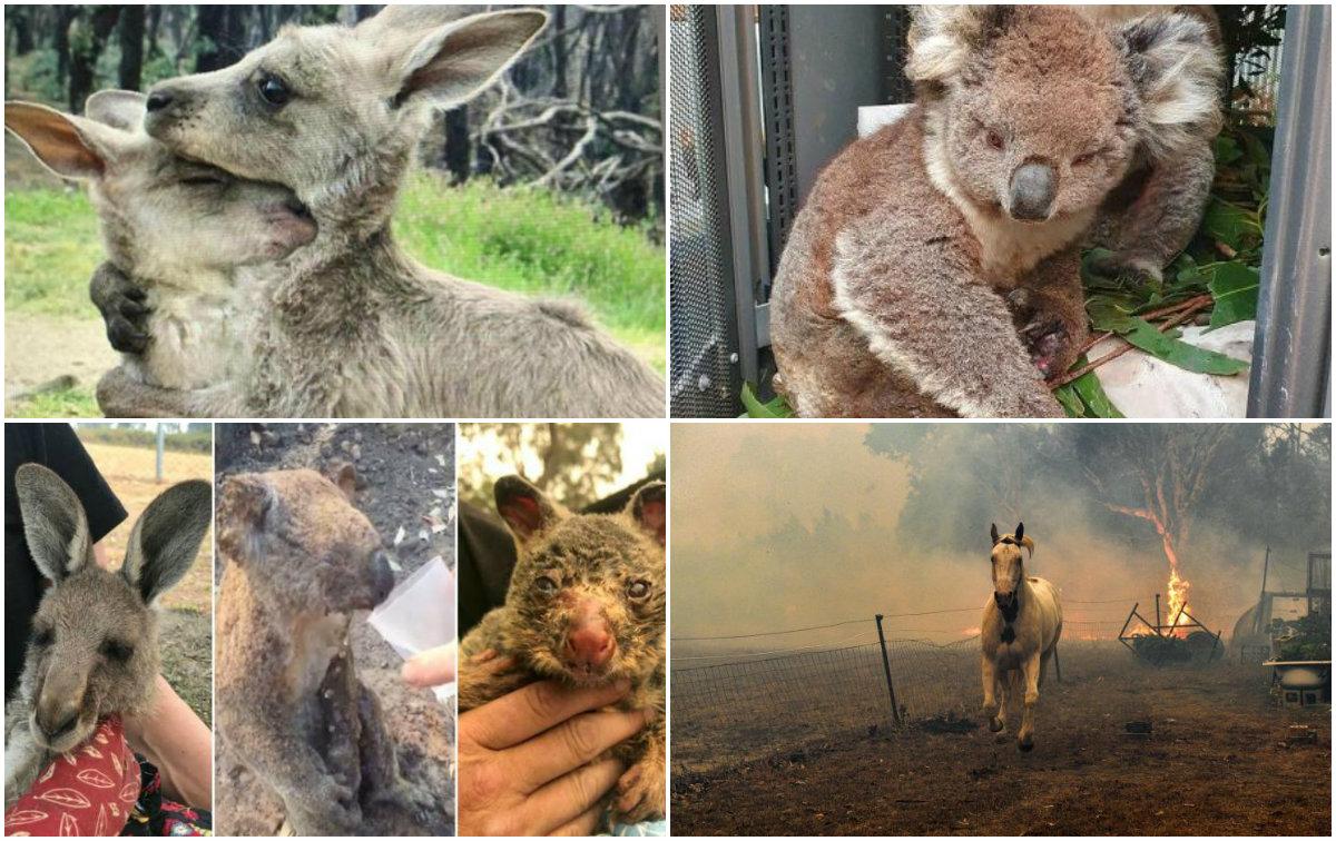 Zjarret gjunjëzojnë Australinë, pamje të trishta të kafshëve