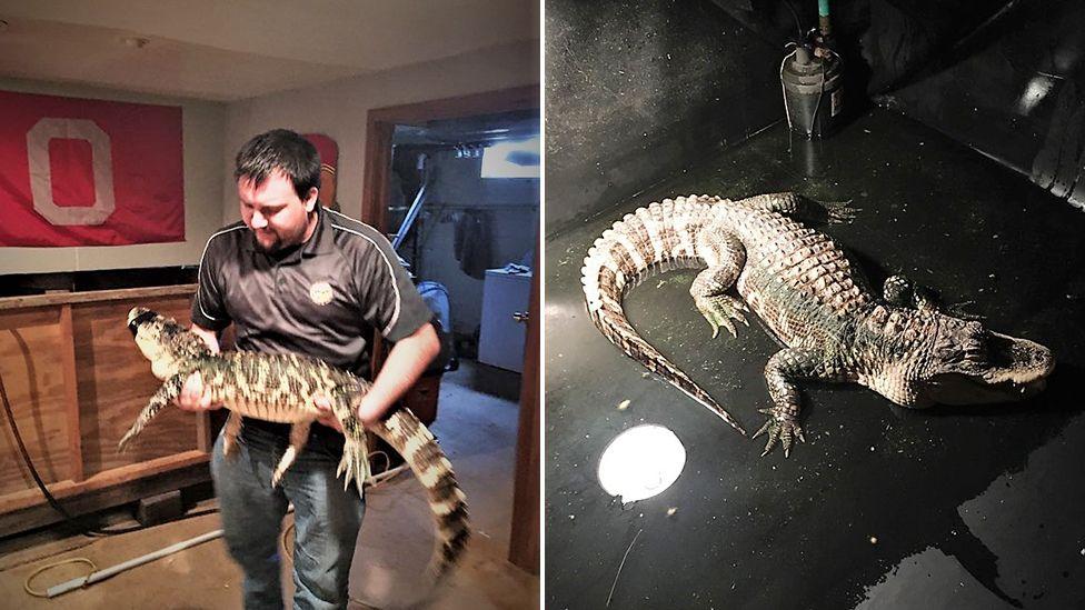E pazakontë/ Policia gjen një aligator të rritur në bodrumin e një shtëpie