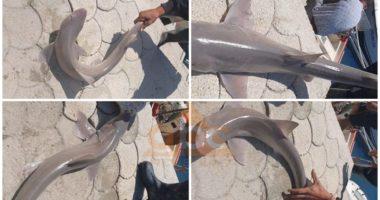 FOTO/ Peshkaqeni bie në rrjetat e peshkatarëve në Orikum