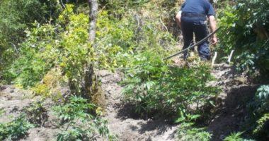 Mbollën lëndë narkotike në pyll, pranga tre personave në Patos