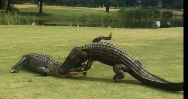 Dylufim aligatorësh në fushën e golfit