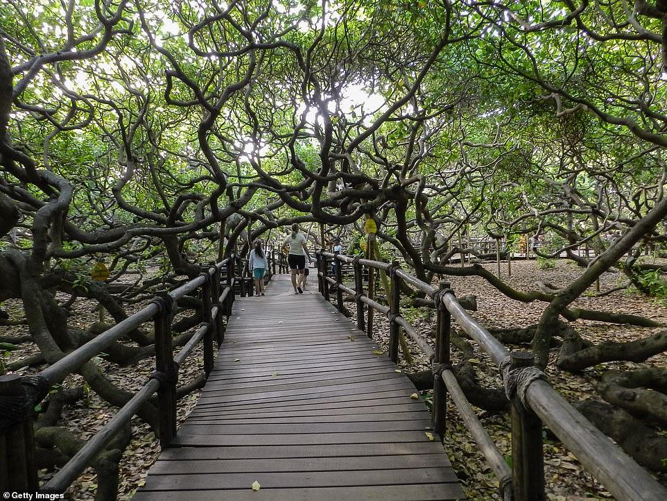 E rrallë, pema krijon një pyll më vete, mbulon dy hektarë tokë