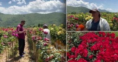 Parcela me trëndafila në Elbasan, fitimet e ulëta të një pune disa vjeçare
