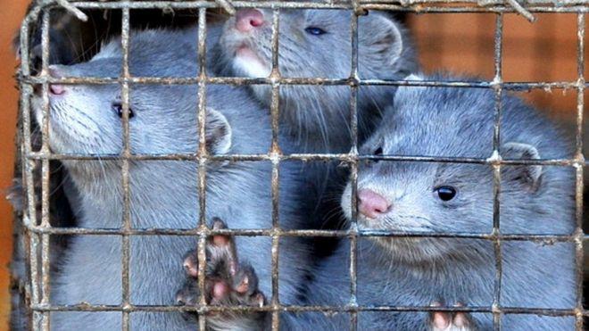 Transmentojnë koronavirusin te njerëzit, Spanja asgjëson 100.000 kafshë