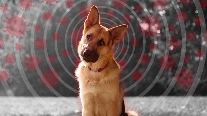 Ngordh qeni i parë i infektuar me Covid 19 në SHBA