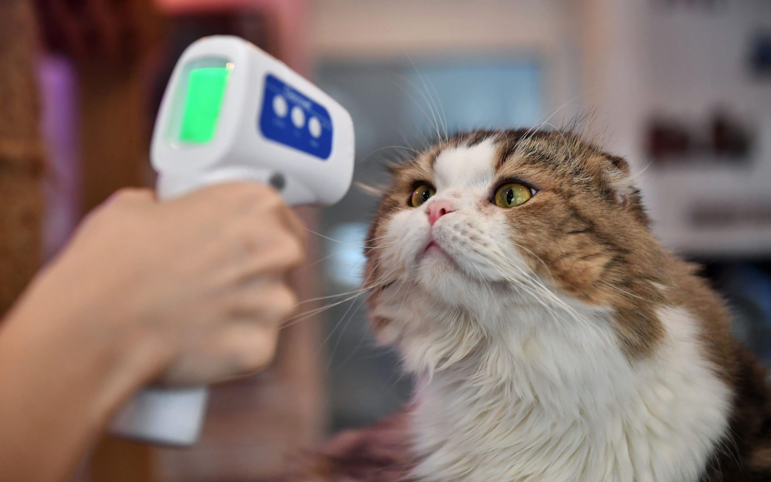 Kafsha e parë e infektuar me Covid-19 në Britani, macja infektohet nga pronari