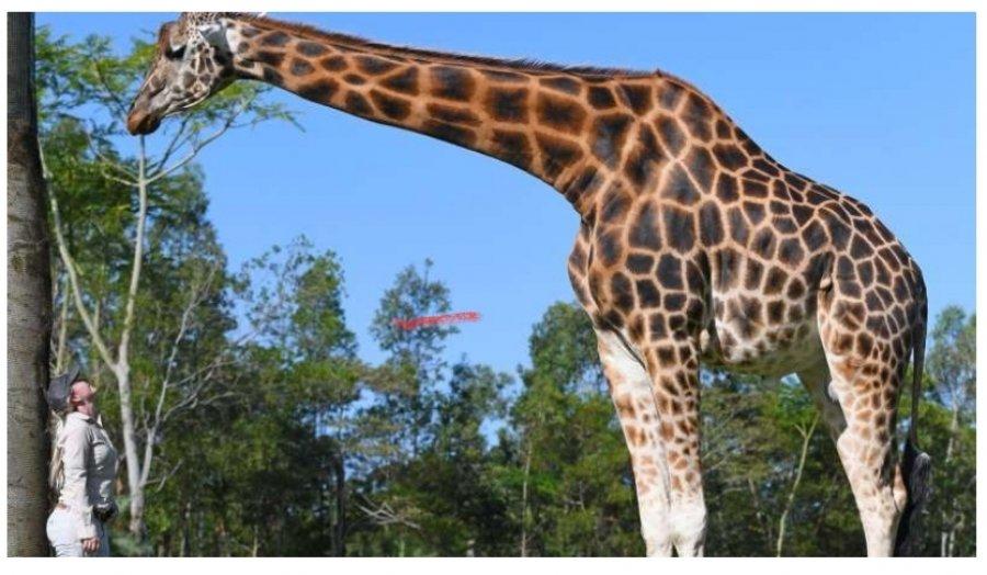 Rekordet Guinness zgjedhin gjirafën më të gjatë, zbuloni sa metra arrin