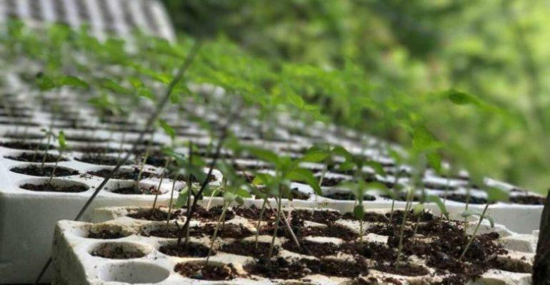 Kultivonin bimë narkotike, kapet 60 vjeçari shpallet në kërkim i biri