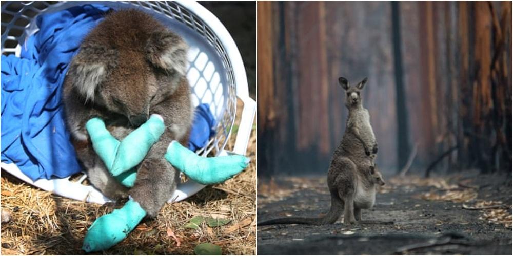 Raporti tragjik: Thuajse 3 miliard kafshë u vranë nga zjarret në pyjet e Australisë