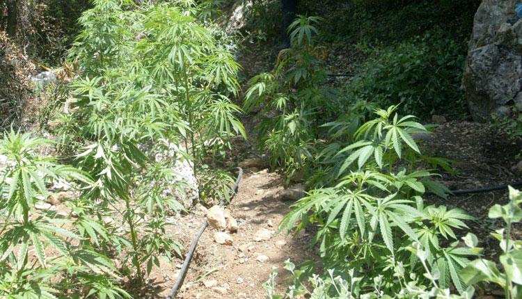 Kultivonin bimë narkotike në pronë publike, arrestohet kryeplaku i fshatit Lybeshë