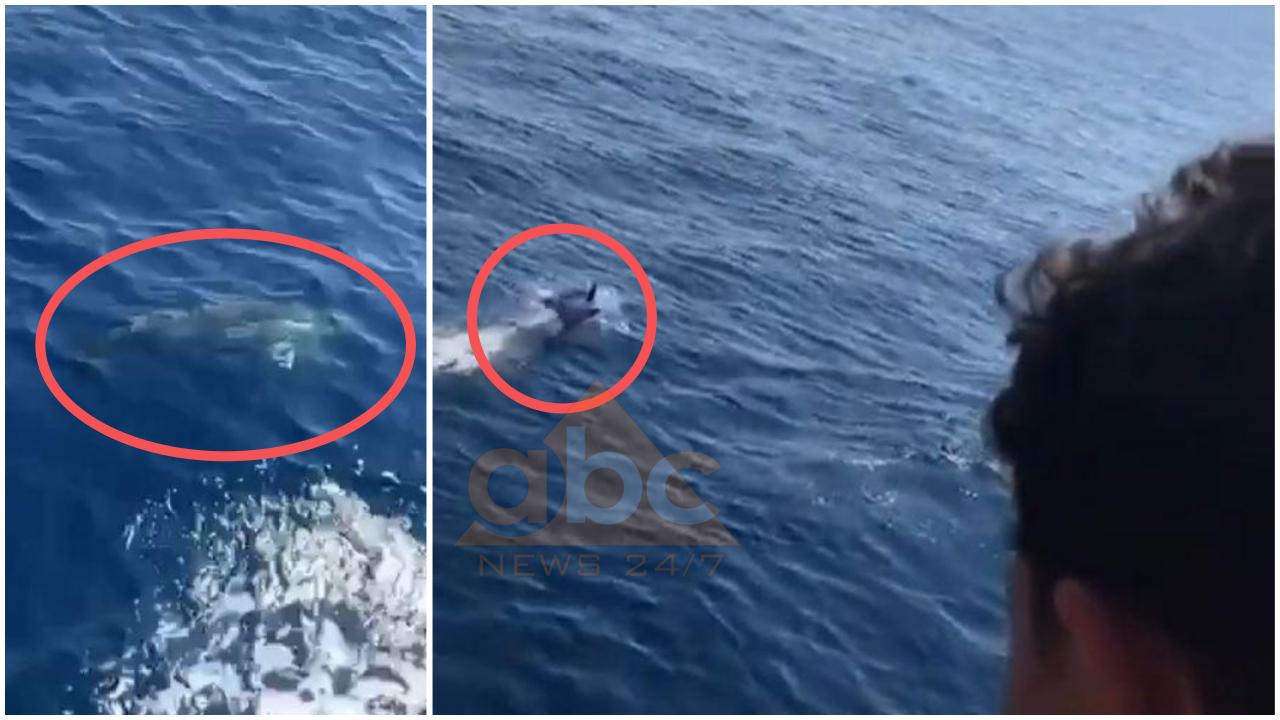VIDEO/ E rrallë, delfinët  shoqërojnë pushuesit në Gjirin e Krorezës në Sarandë