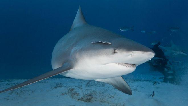 Gruaja shtatzënë shpëton burrin nga peshkaqeni