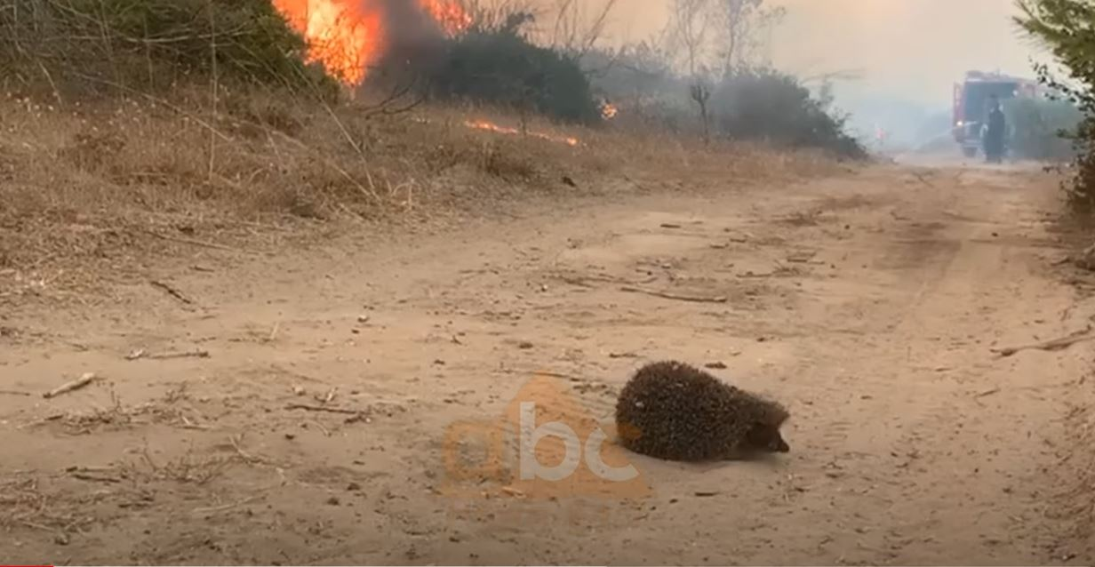 VIDEO/ Flakët në Kepin e Rodonit, momenti kur iriqi përpiqet ti shpëtojë zjarrit