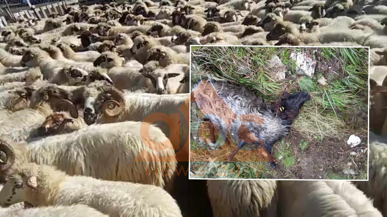 Sëmundja e rrallë rrezikon bagëtitë në Gjirokastër, fermerët pa asnjë shpresë për kompesim