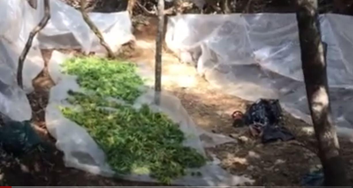 VIDEO/ Shqiptarë dhe grekë, bashkë në male për parcelat me hashash