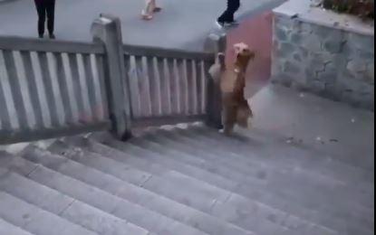 Qeni ngjit shkallët si një njeri, videoja bëhet virale në rrjet
