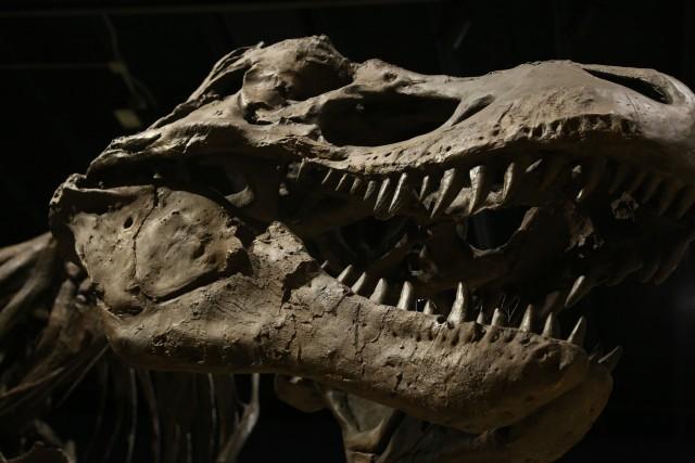 Zbulohen për herë të parë në Afrikë fosilet e një dinosauri