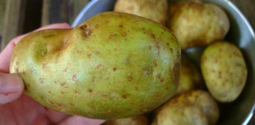 Zbuloni kur patatet mund të shkaktojnë helmim