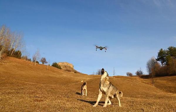Po stërviste qenin me dron, çobani merr një mësim të mirë