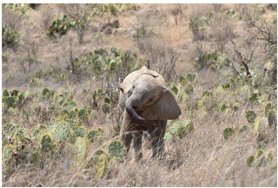 """Kaktusi i """"djallit"""" që po u shkakton shumë dhimbje elefantëve në Afrikë"""