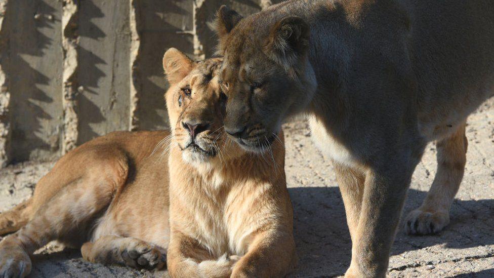 Katër luanë rezultojnë pozitivë me koronavirus