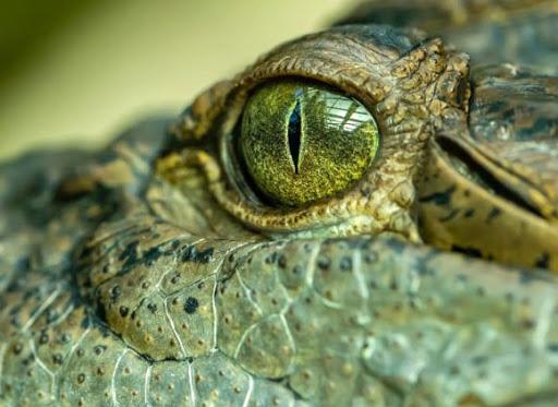 """""""Mbreti i kënetës"""", zbulohet krokodili gjigant parahistorik"""