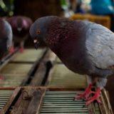 Udhëtoi 13 mijë kilometra drejt Australisë, pëllumbi amerikan do t'i nënshtrohet eutanazisë