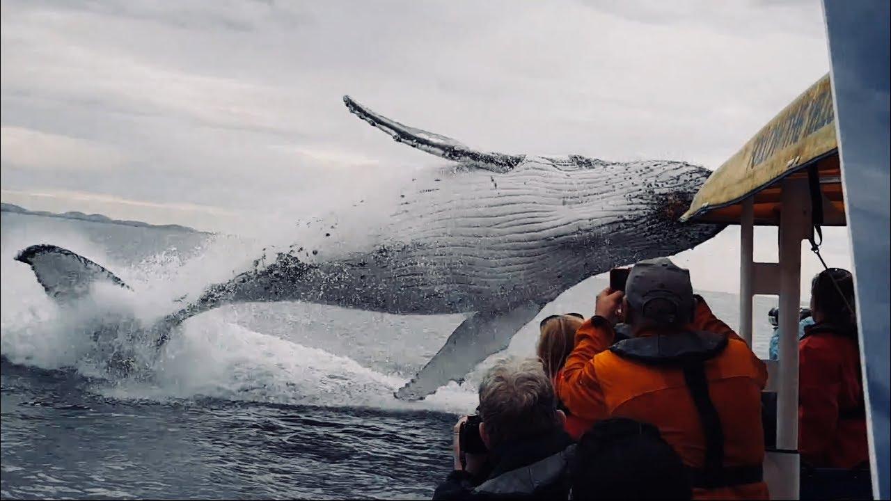 Nuk është rastësi, pse balenat  hidhen e kërcejnë mbi ujë