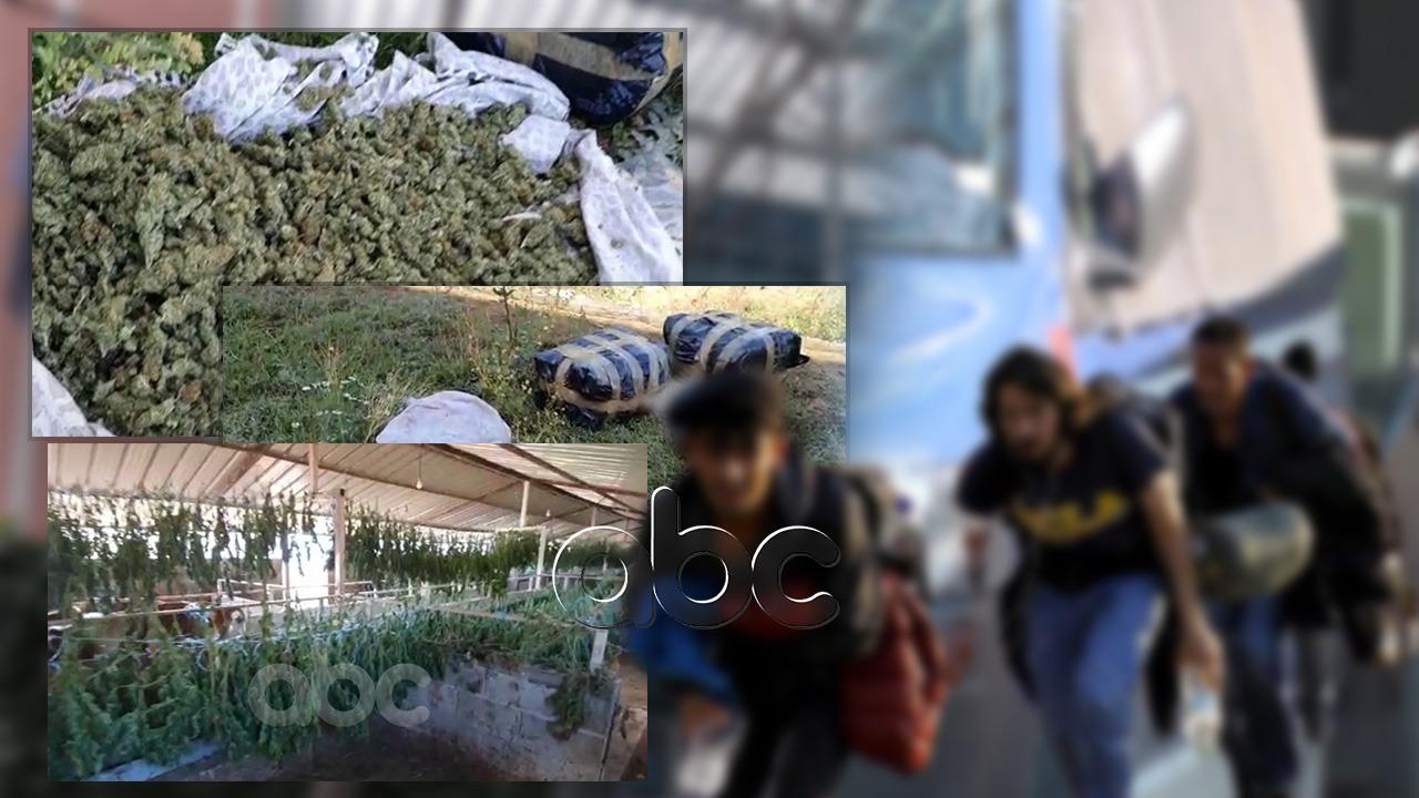 Zyrtarë dhe policë, trafikantët rekrutuan sirianë për kultivimin e parcelave me kanabis në Skrapar