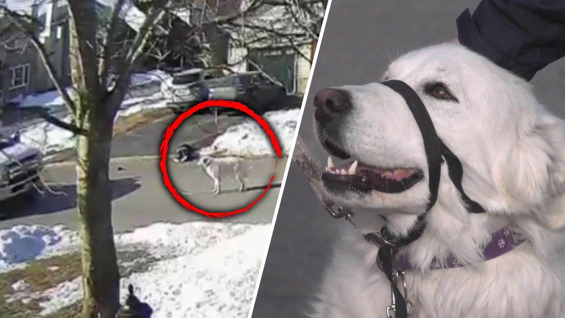 VIDEO/ Ra në tokë pas një krize, qeni shpëton pronaren duke ndaluar një makinë në rrugë