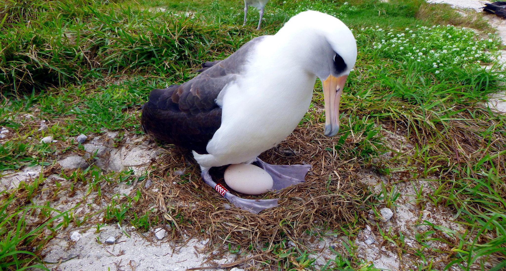 I njohur si më i vjetri në botë, shpendi i egër lind zog në moshën 70-vjeçare